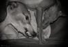 _DSC1380aSE_1v_V (faithful_whippets) Tags: nikon d7100 hunde windhunde whippet ital windspiel