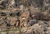 Mountain gazelle (Dave 5533) Tags: mountaingazelle wild animal nature naturephotography wildlife canoneos1dx sigma150600mmf563dgoshsm|s gazelle ngc