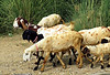 On the March (Mary Faith.) Tags: goats herd march walk grass spotted milk animal goat