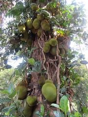 Jackfruit (wallygrom) Tags: asia srilanka ceylon colombotopinnawara jackfruit jakfruit jak artocarpusheterophyllus
