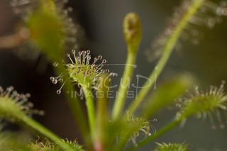 Planta carnívora (Drosera Spatulata).