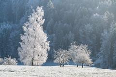 A9900916_s (AndiP66) Tags: winterstimmung altbüron melchnau luzernerhinterland rottal kanton luzern cantonoflucerne bern cantonofberne winter nebel fog mist gefroren reif frosted frozen hoarfrost sun sonne sunrays sonnenstrahlen sony sonyalpha 99markii 99ii 99m2 a99ii alpha ilca99m2 slta99ii sigma24105mmf4dghsmart sigma 24105mm f4 amount andreaspeters