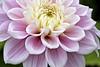A pink dahlia (Roland B43) Tags: dahlia