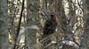 Dindon sauvage (yveshebert) Tags: oiseaux oiseauxduquébec outaouais ottawariver birds gatineau turkey laclemay3
