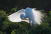 Great Egret (tompost) Tags: rookery venice florida fl greategret plumagefeathers breeding nature bird wings