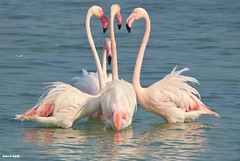 Don't tell anybody! (Amro Afifi) Tags: flamingo funny sun sea stuning amroafifi amazing animals great group