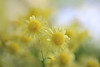 Twins (lfeng1014) Tags: twins yellowmum chrysanthemum soft softlight macro macrophotography 100mmf28lmacroisusm canon5dmarkiii depthoffield dof closeup bokeh lifeng centennialparkconservatory toronto