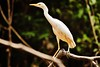 Cattle Egret at the Blanco river (andybicerra) Tags: bird birds egret amazon jungle peru flickrestrellas flickr cattle loreto iquitos ngc animal aves