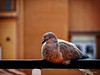 A break after a day flying (pàmies photo) Tags: break bokeh animal bird dove