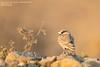 Ashy-crowned Sparrow-Lark - Maharashtra, India (Vivek Khanzodé (www.birdpixel.com)) Tags: worldbirdspecies ashycrownedsparrowlark wildlife eremopterixgriseus alaudidae india male umred record worldbirdspecies438 nagpur saikilake birds nature maharashtra en