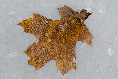 Red Oak Leaf in Lake Ice in Central Michigan (Lee Rentz) Tags: canadianlakes lakeoftheclouds quercusrubra america autumn brown centralmichigan cold fallen freezing frozen ice icy lake late leaf leaves michigan midmichigan northamerica oak old redoak snow snowy surface unitedstates usa winter
