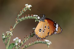 Danaus chrisippus (Dindingwe) Tags: danauschrisippus papillon monarque petitmonarque butterfly africanmonarch nymphalidae kruger knp