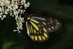 THINKING OF GENTLE SUMMER IN COLD WINTER - Aporia agathon (Great Blackvein White) (TW2015-0005) (Butterflies in Still Air) Tags: greatblackveinwhite greatblackvein aporiaagathon aporia agathon aporiaagathonmoltrechti moltrechti lcy2015 lcysptw lcynsp taiwan butterfly lepidoptera pieridae