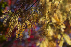 Cypress (OrangeK7) Tags: fall cypress baldcypress leaves tree autumn nature christmas 武陵農場