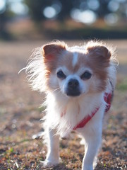 ピノ2017-01-23 15.44.05-3 (やんちゃなちわわ) Tags: ピノ pino 犬 dog チワワ chihuahua