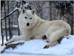 Iris, la louve arctique - Iris, the Arctic She-wolf (Jogabi - Michèle) Tags: louparctique arcticwolf coth5 ngc sunrays5 npc magicunicornverybest saariysqualitypictures