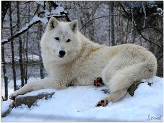 Iris, la louve arctique - Iris, the Arctic She-wolf