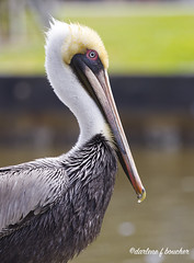 pelican portrait (amaw) Tags: winner