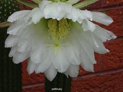 Cacti (pat.bluey) Tags: mygarden flowers blacktown nsw australia white cacti raindrops 1001nights 1001nightsmagiccity