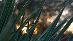 Mélange (wNG555) Tags: 2017 arizona phoenix tamron tamron2470mmf3356730n bokeh palmtree