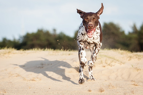 "German Shorthaired Pointer • <a style=""font-size:0.8em;"" href=""http://www.flickr.com/photos/56274740@N08/17810348563/"" target=""_blank"">View on Flickr</a>"