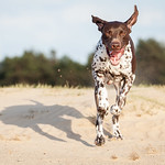 German Shorthaired Pointer thumbnail