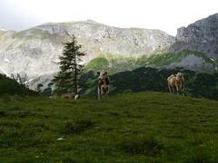 Glckliche Klber auf der Flzalm / Lucky calves at Foelzalm alp (rudi_valtiner) Tags: mountains alps austria sterreich berge alm alpen alp steiermark autriche calves styria kalb klber hochschwab calve flzalm wanderung20150620 karlalpe