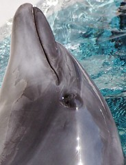 Odd angle (EmilyOrca) Tags: portrait training aquarium dolphin cetacean