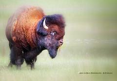 THE BISON (Aspenbreeze) Tags: wild canada nature grass animal buffalo wildlife wildanimal bison canadianwildlife aspenbreeze oldbison moonandbackphotography bevzuerlein