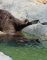 (Sailor.Doom) Tags: life bear wild water animal closeup swim zoo wildlife grizzly claws wading soaked grizzlybear riverbankszooandbotanicalgarden riverankszoo
