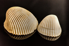 Bivalve Duo. (gecko47) Tags: stilllife shells macro blackbackground seashells reflections queensland townsville beachcombing cockles bivalves pallarenda