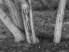 Odd man out (Thad Zajdowicz) Tags: leica travel light shadow blackandwhite bw white plant abstract black tree texture nature monochrome grass one three flora colorado pattern availablelight fineart highcontrast bark trunk littleton oddmanout zajdowicz