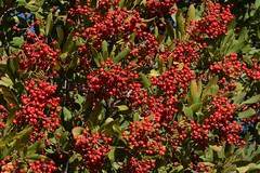 Christmas berries on native Toyon (Heteromeles arbutifolia, Rosaceae) (Treebeard) Tags: christmasberry toyon californiaholly heteromelesarbutifolia rosaceae eastcaminocielo santaynezmountains santabarbaracounty california