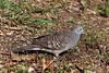 Zebra Dove (limecow96) Tags: hawaii diamondhead lanikai beach waikiki honolulu oahu hanaumabay pearlharbor