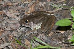 Giant Barred Frog - Mixophyes iteratus (Wildsearch) Tags: endangered frogs giantbarredfrog mixophyesiteratus pomona qld threatenedspecies