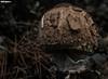Shroom textures (Mauro Hilário) Tags: nature mushroom fungi closeup detail portugal parasol macrolepiota procera texture dof brown