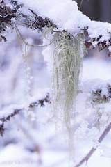 Beard lichen, usnea. (Sirke Vaarma) Tags: naava lichen forest metsä usnea