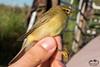 Fitis (Marc Nollet) Tags: vogelfotografie vogel vogels ringen ringwerk antoine bird birds birdwatcher birding birdringing nollet eendekooi lissewege