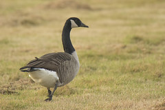 Grote canadese gans - 's-Gravenzande (Jan de Neijs Photography) Tags: grotecanadesegans gans goose vogel bird animal westland hetwestland tamron tamron150600 tamron150600g2 g2 150600 zuidholland