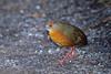 sanã-castanha (Laterallus viridis) (claudio.marcio2) Tags: pássaro bird oiseaux nature natureza wildlife brazil sanãcastanha laterallusviridis