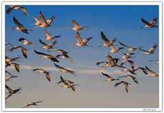 Volviendo a casa.... (JLuis San Agustín) Tags: 2017 grullas aves
