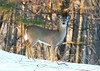 white-tailed deer doe at Lake Meyer Park IA 854A7730 (lreis_naturalist) Tags: whitetailed deer doe lake meyer park winneshiek county iowa larry reis