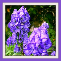 Summer Monkshood, remembering (Lynn English) Tags: summer monkshood lavender flower