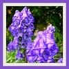 Summer Monkshood, remembering (Lynn English) Tags: summer monkshood lavender flower