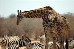 size matters (me*voilà) Tags: namibia giraffe zebras waterhole etosha