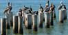 Grooming Class 101 (Poocher7) Tags: water ocean gulfofmexico posts usa florida southwestflorida naples naplesfl brownpelicans shorebirds pelicans blackcomorants preening grooming sunny hot birds
