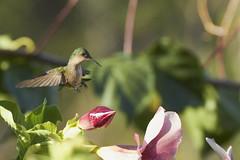 Antillean Crested Hummingbird (female) (ronmcmanus1) Tags: antigua bird nature outdoors wildlife jollyharbour stmarysparish antiguabarbuda