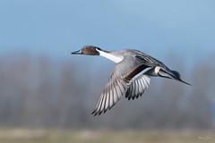 Pintail (Shane Jones) Tags: pintail duck wildfowl bird birdinflight wildlife nature nikon d500 200400vr tc14eii