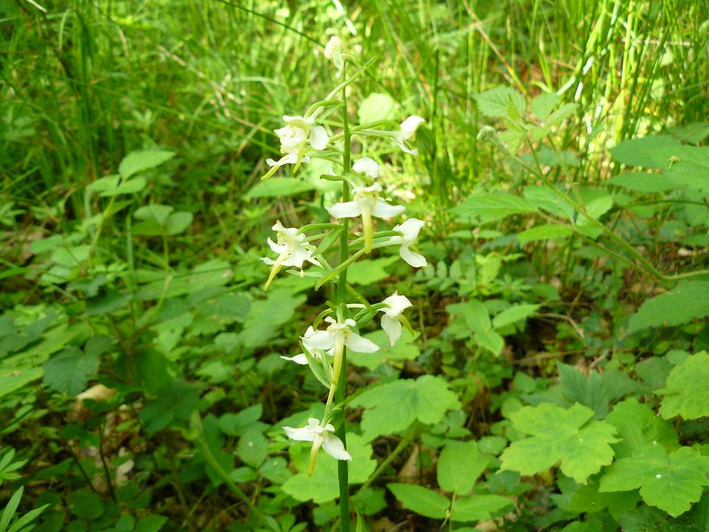 Platanthera bifolia ssp. latiflora-2