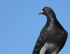 Stop the Pigeon (SeanC66) Tags: pigeon bird blue skies eye